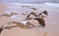 pelicans on the move